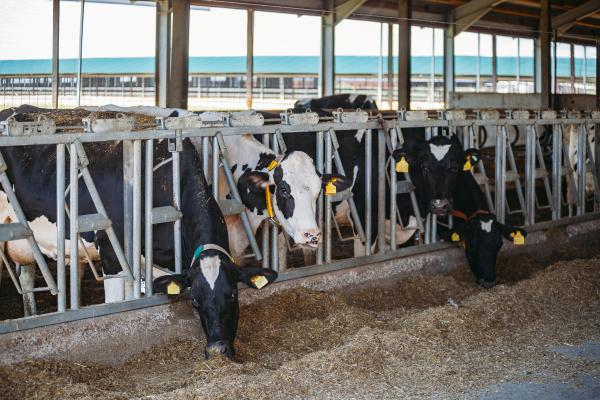 Dairy cows in stanchion